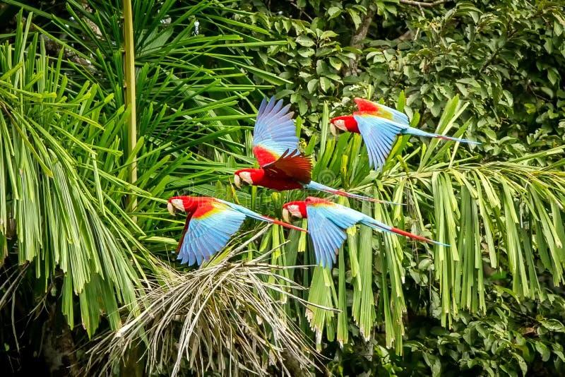 Flock av den röda papegojan i flykten Araflyg, grön vegetation i bakgrund Röd och grön ara i den tropiska skogen, Peru, djurliv fotografering för bildbyråer