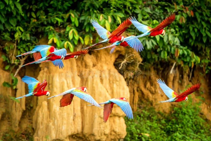 Flock av den röda papegojan i flykten Araflyg, grön vegetation i bakgrund Röd och grön ara i den tropiska skogen, Peru, djurliv royaltyfria foton