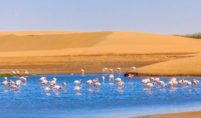 Flock av den rosa flamingomarschen längs dyn i Kalahari Deser royaltyfria bilder