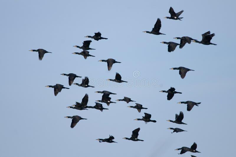 Flock av den stora cormoranten i flyg royaltyfri bild