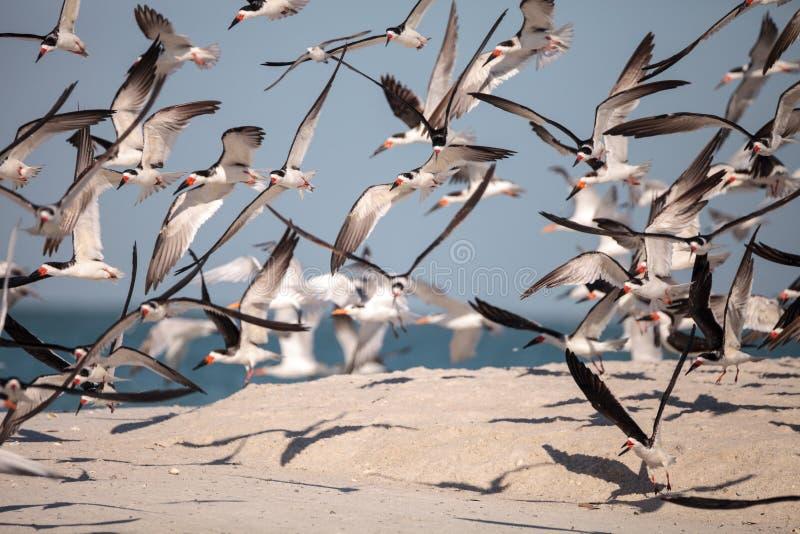 Flock av den svarta skumslevtärnarynchopsen Niger på stranden på musslan fotografering för bildbyråer