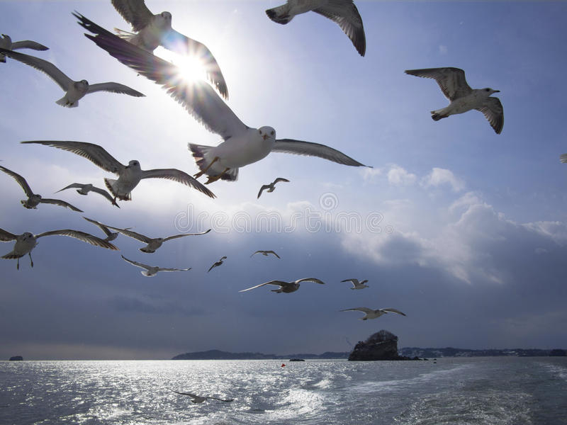 Flock av den svarta svansfiskmåsen royaltyfri bild