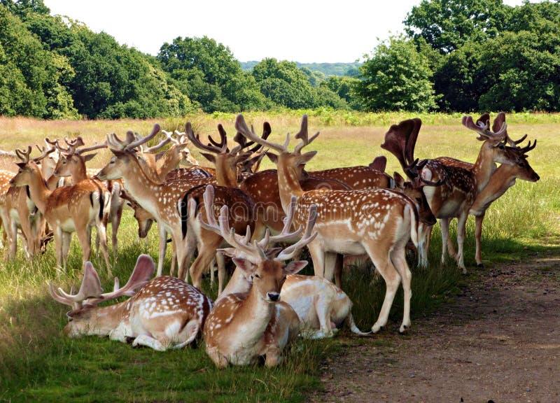 Flock av dovhjortar i Richmond Park Greater London Uk arkivfoton