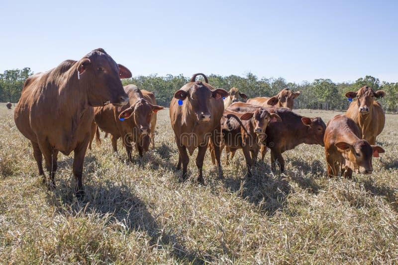 Flock av Droughtmaster nötkreatur royaltyfri foto
