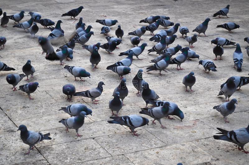 Flock av duvor arkivbild