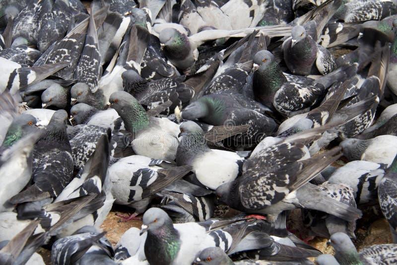 Flock av duvor arkivfoto