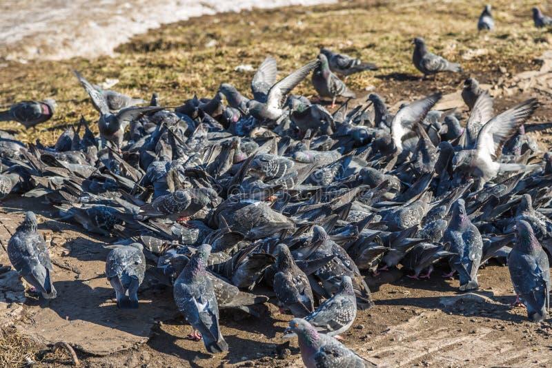 Flock av duvor royaltyfri foto