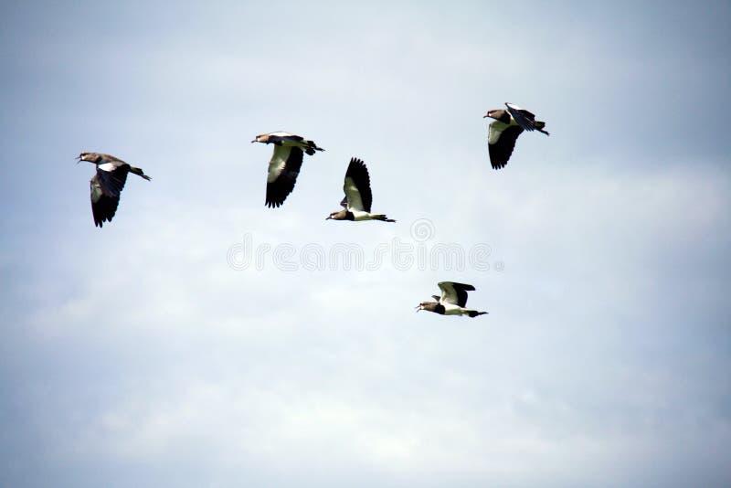 Flock av duvor i flykten fotografering för bildbyråer