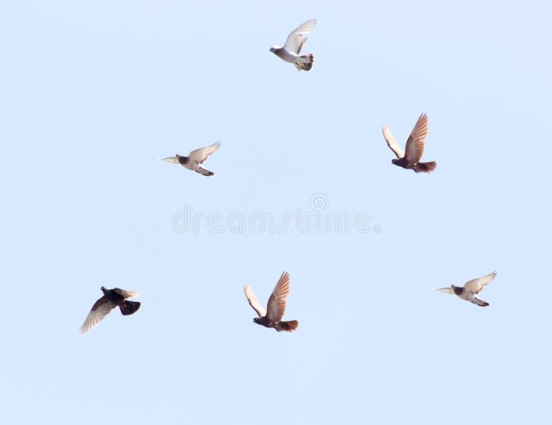 Flock av duvor på blå himmel arkivbild