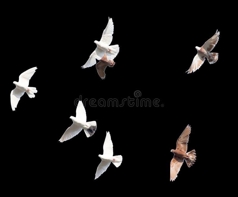 Flock av duvor på en svart bakgrund arkivfoto