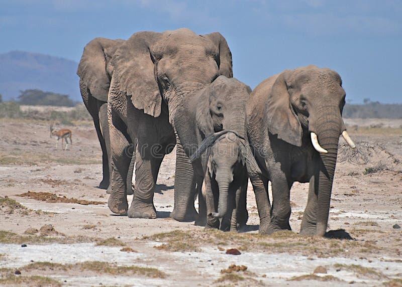 Flock av elefanter arkivfoto