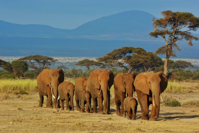 Flock av elefanter royaltyfria bilder