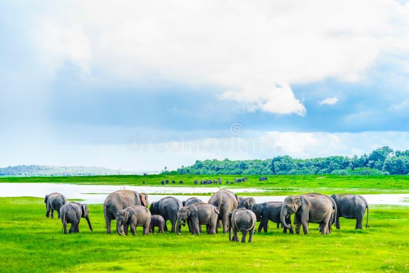 Flock av elefanter i den Kaudulla nationalparken, Sri Lanka arkivfoton