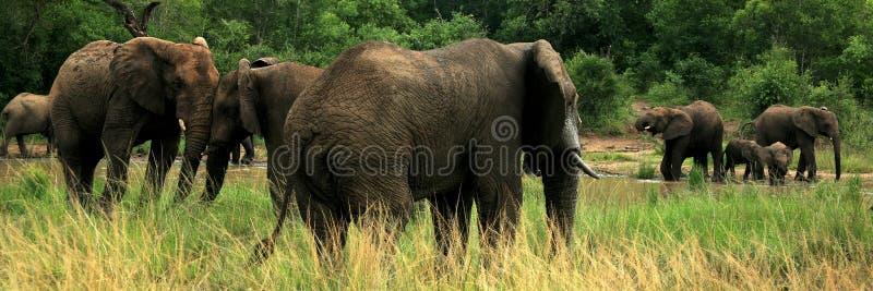 Flock av elefanter i den modiga reserven, Sydafrika royaltyfri bild