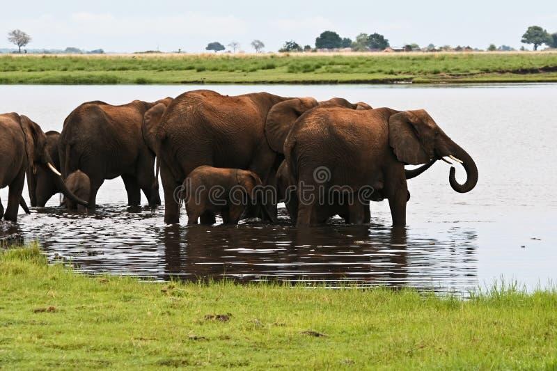 Flock av elefanter i laken royaltyfri foto