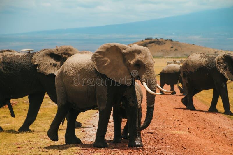 Flock av elefanter på den Amboseli nationalparken Afrika Kenya under safari arkivbild