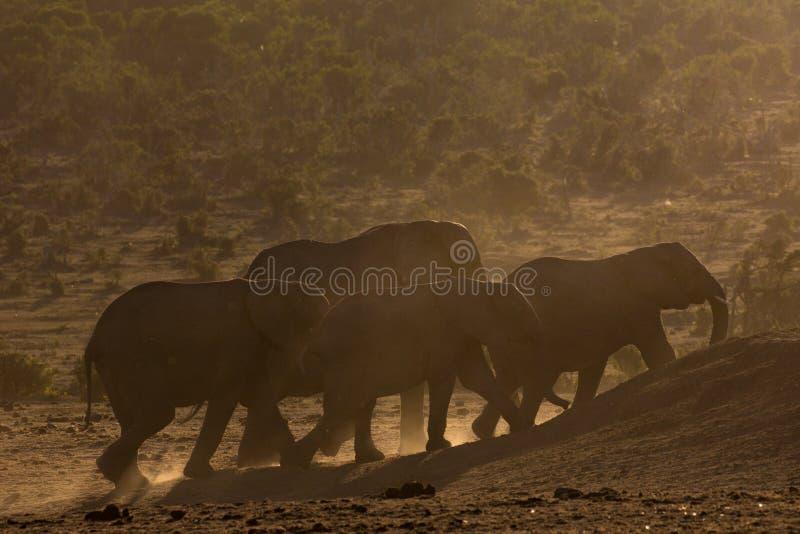 Flock av elefanter på solnedgången royaltyfria foton