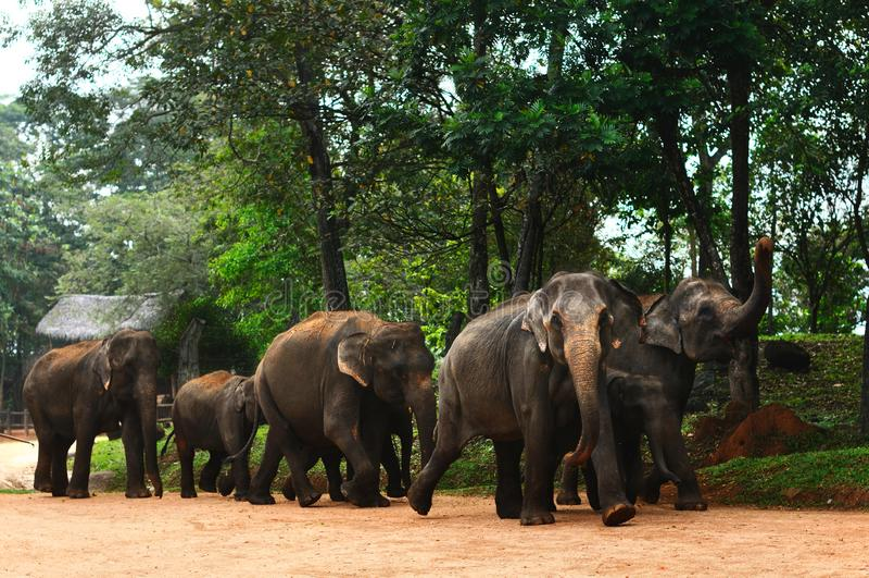 Flock av elefanter på Sri Lanka arkivbilder
