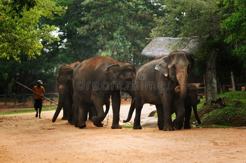 Flock av elefanter på Sri Lanka arkivfoton