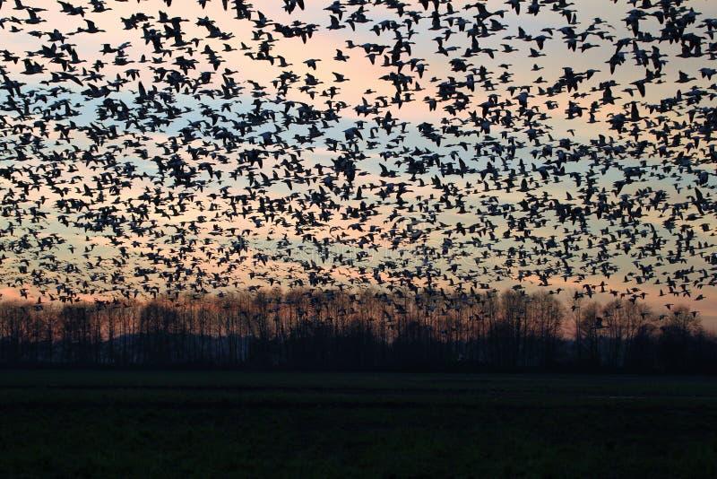 Flock av fågelkonturn på solnedgången royaltyfria bilder