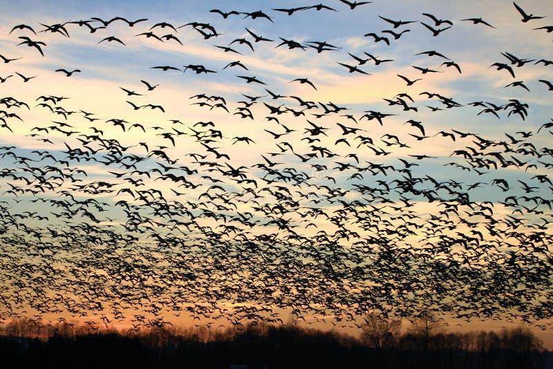 Flock av fågelkonturn på solnedgången fotografering för bildbyråer