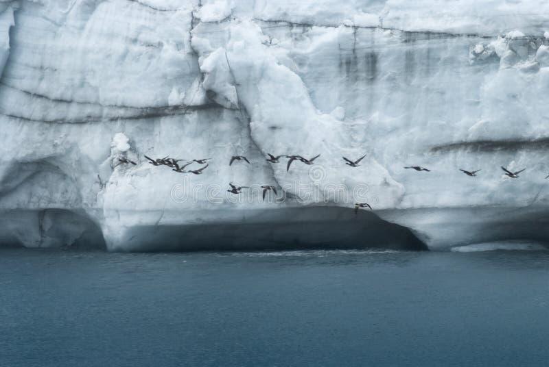 Flock av fåglar som flyger i Front Of A den massiva väggen av is på Margerie Glacier, nationalpark för glaciärfjärd, royaltyfria foton