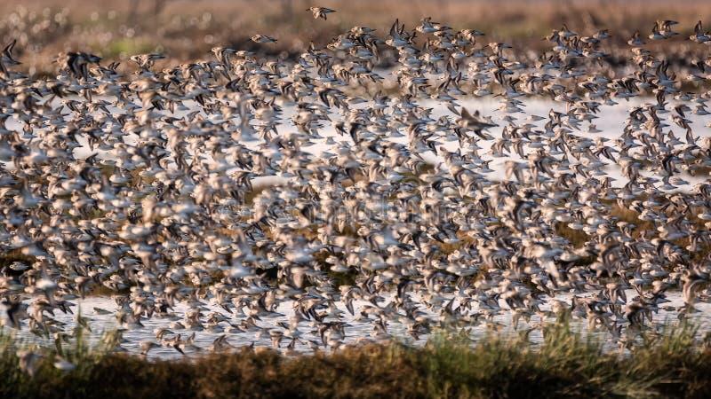 Flock av fåglar som flyger nära ett träsk arkivbilder