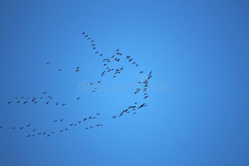 Flock av fåglar som högt flyger i himlen royaltyfria foton