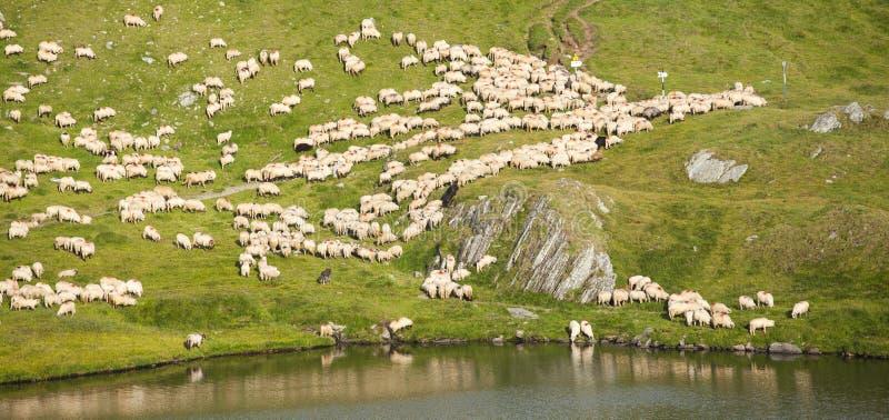 Flock av får i bergen royaltyfri fotografi