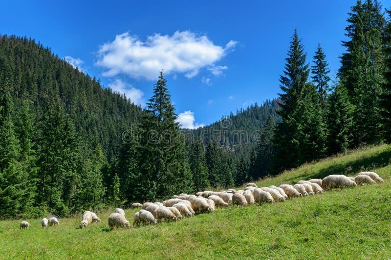 Flock av får i de Tatra bergen, Chocholowska dal, Polen royaltyfri foto