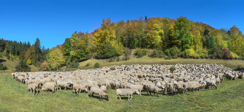 Flock av får i höst royaltyfria bilder