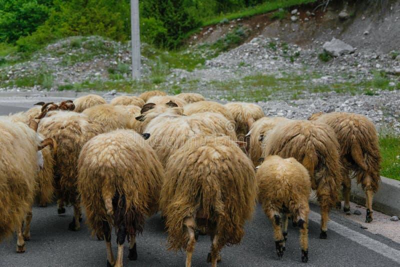 Flock av får i vägen arkivbild