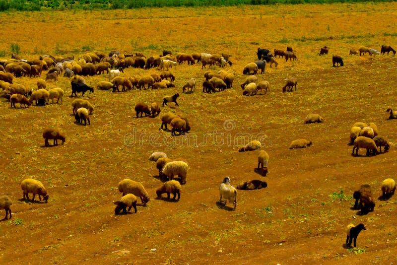 Flock av får, nära Rayak, Bekaa Valley Libanon arkivbilder