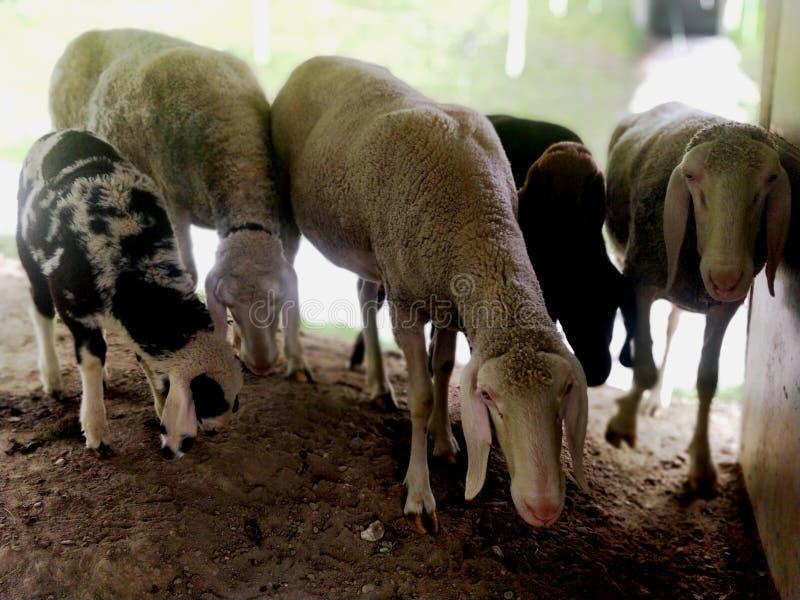 Flock av får och geten som tillsammans står under skydd arkivfoto