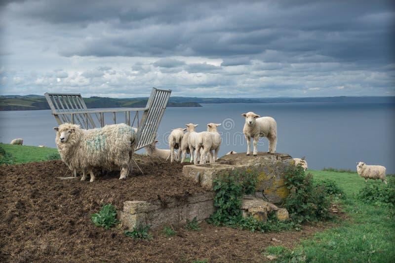 Flock av får på den corniska kusten Cornwall Förenade kungariket arkivfoto