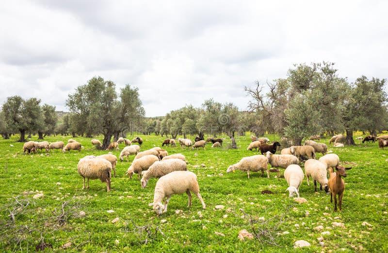Flock av får på grönt gräs nära olivträd Vårbild arkivfoto