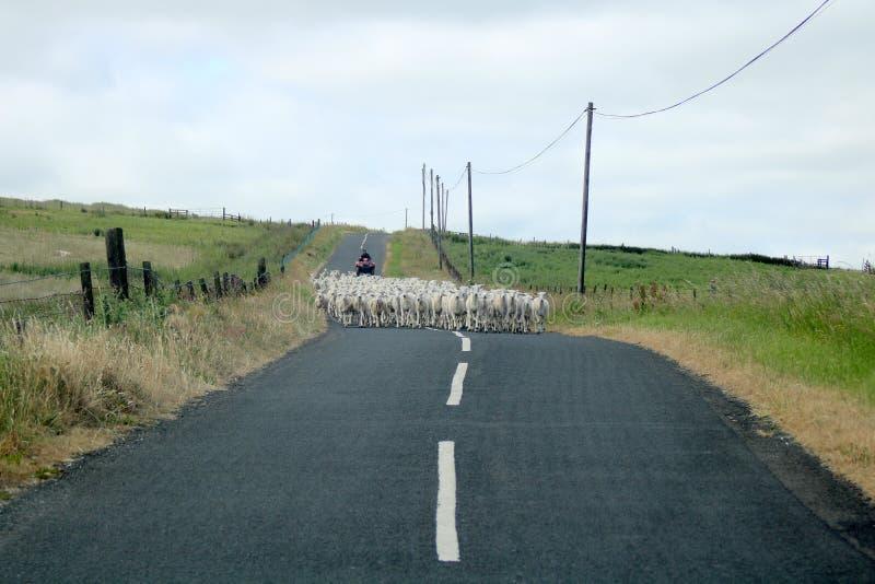 Flock av får på landsvägen royaltyfria foton