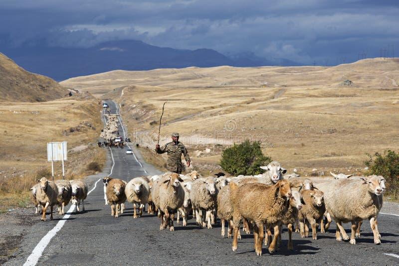 Flock av får på vägen i Armenien arkivfoton