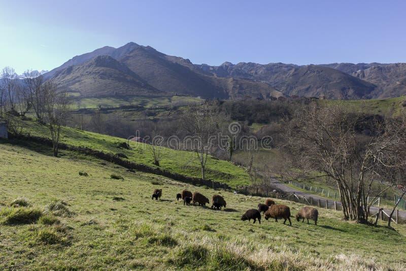 Flock av får som betar i de gröna ängarna av Asturias arkivfoto