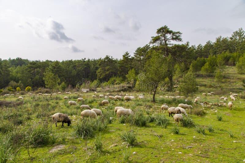 Flock av får som betar i grön äng arkivbild