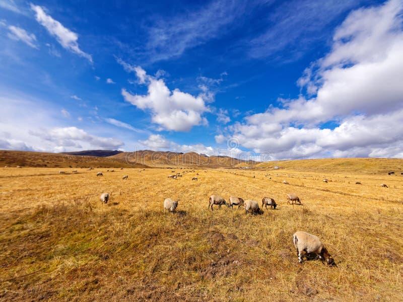 Flock av får som betar i solig äng för höst med bakgrund för blå himmel och snöberg, härligt landskap av den Ruoergai prärien royaltyfria foton