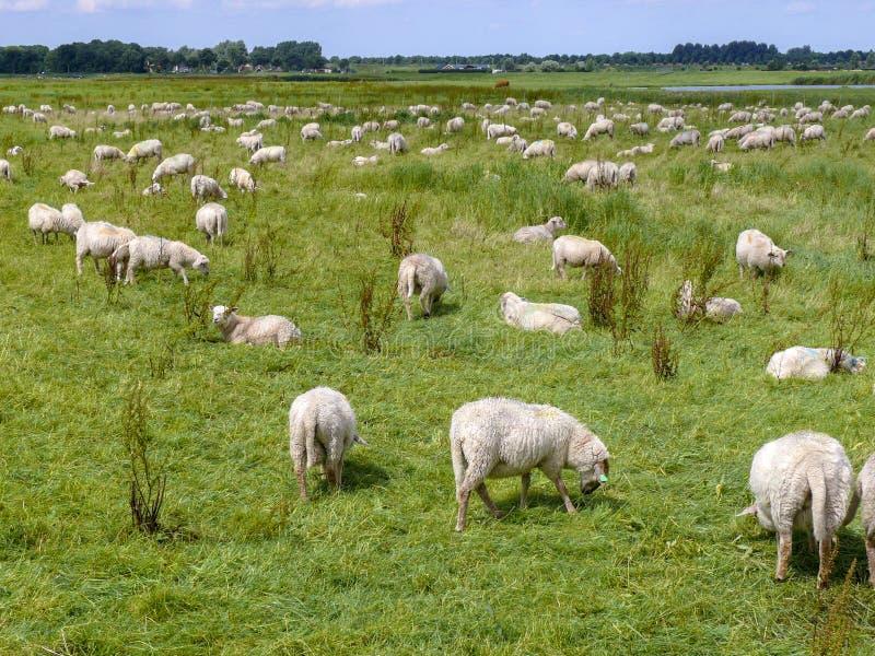 Flock av får som betar på en äng i plant holländskt landskap med träd på horisonten royaltyfria bilder