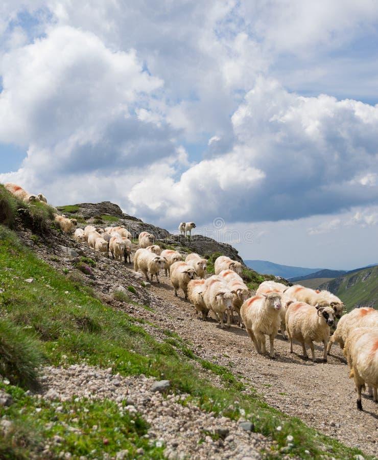 Flock av får som hålls ögonen på av shepperdhunden, i bergen arkivbild