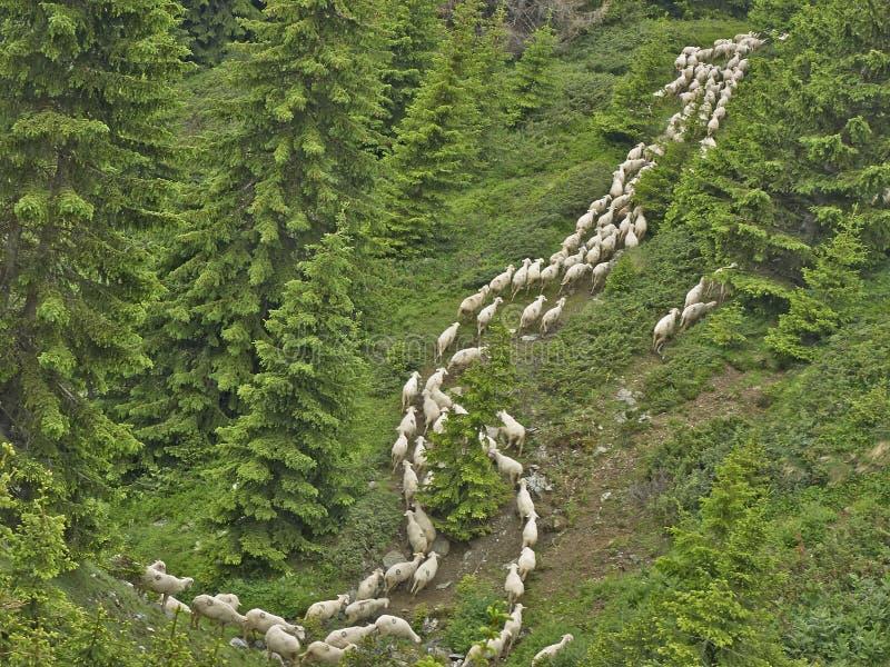 Flock av fårinflyttningen skogen royaltyfri fotografi