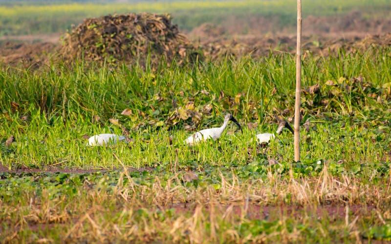 Flock av för Egrettagarzetta för liten ägretthäger som hägret för liten snö den vita är prickig i den Neora dalnationalparken väs arkivfoto