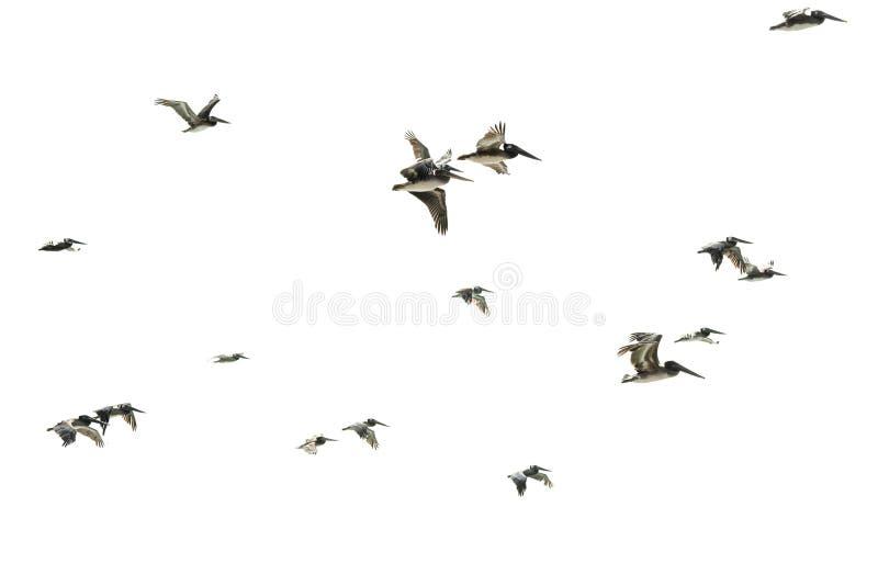 Flock av f?glar Flyga pelikan mot vit bakgrund arkivfoton