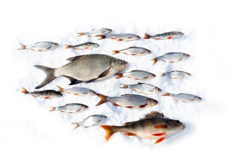 flock av fisken (sittpinnen, braxen, mört arkivbild
