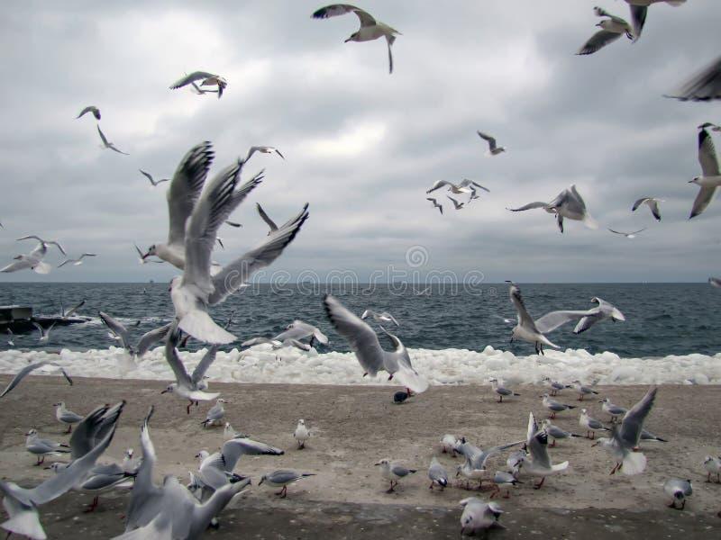 Flock av fiskmåsar på en marin- strand i vinter arkivbilder