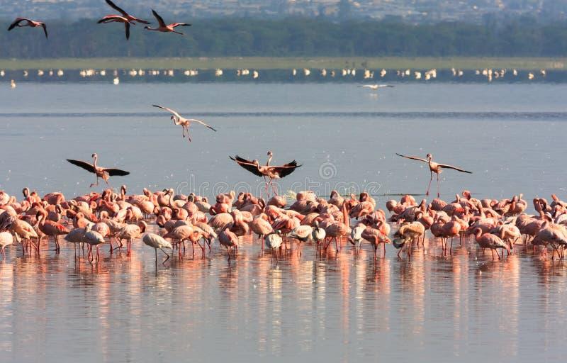 Flock av flamingo från Nakuru kenya arkivfoton
