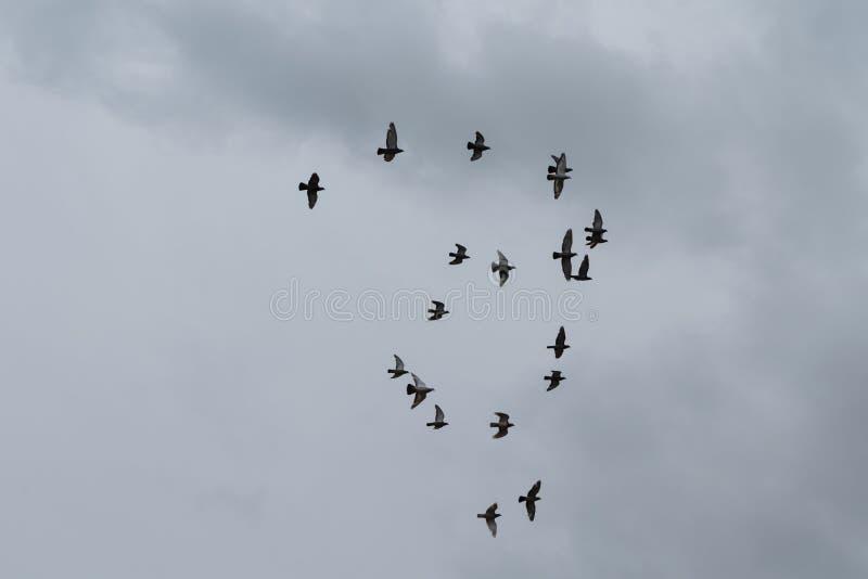 Flock av flygduvor som bildar en form royaltyfria foton